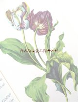 楽しい古本☆  チューリップのワンダーランド 素敵なアンソロジー♫ 植物画 チューリップの歴史やお話